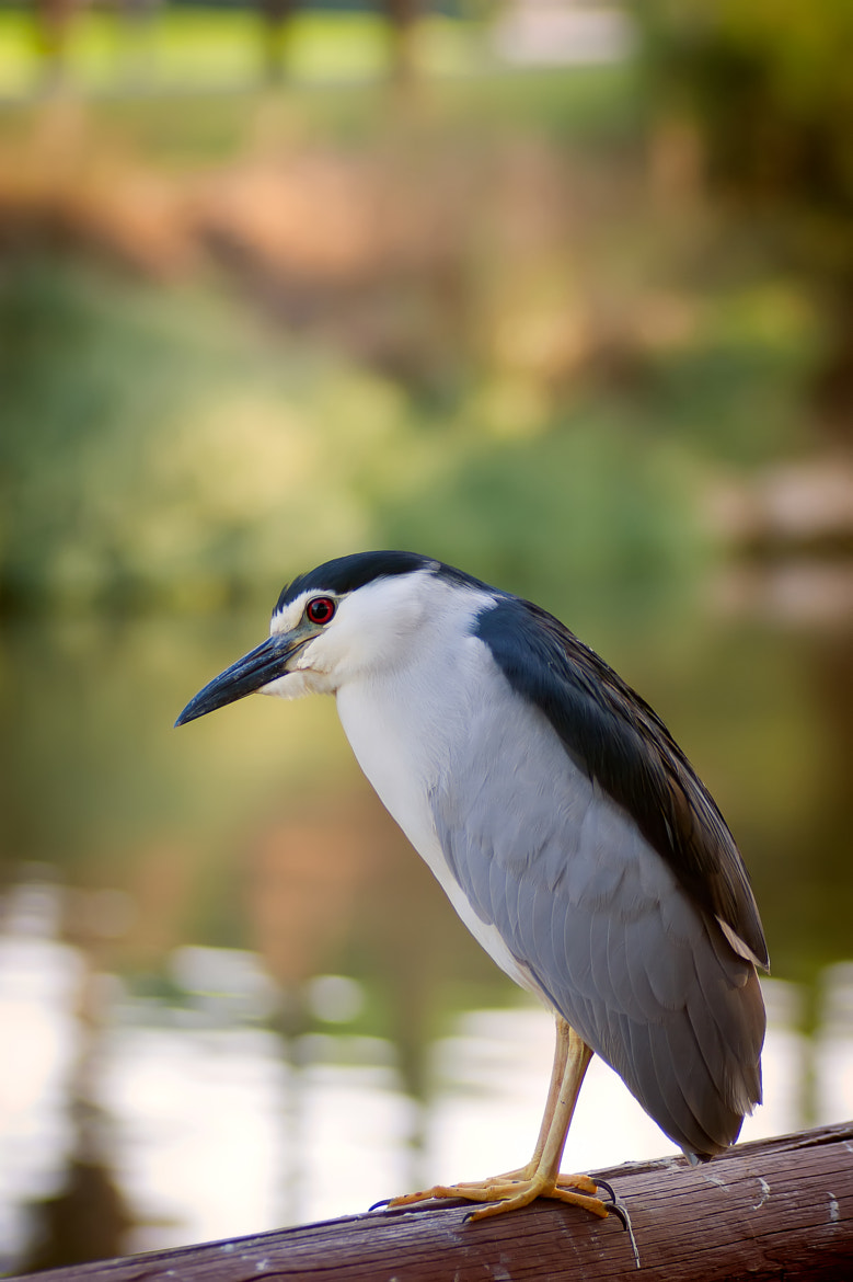 Photograph Black-crowned Night-Heron  by Evgeny Bereza on 500px