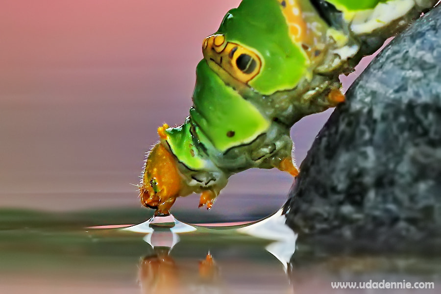 Photograph  Drinking Caterpillar by Uda Dennie on 500px