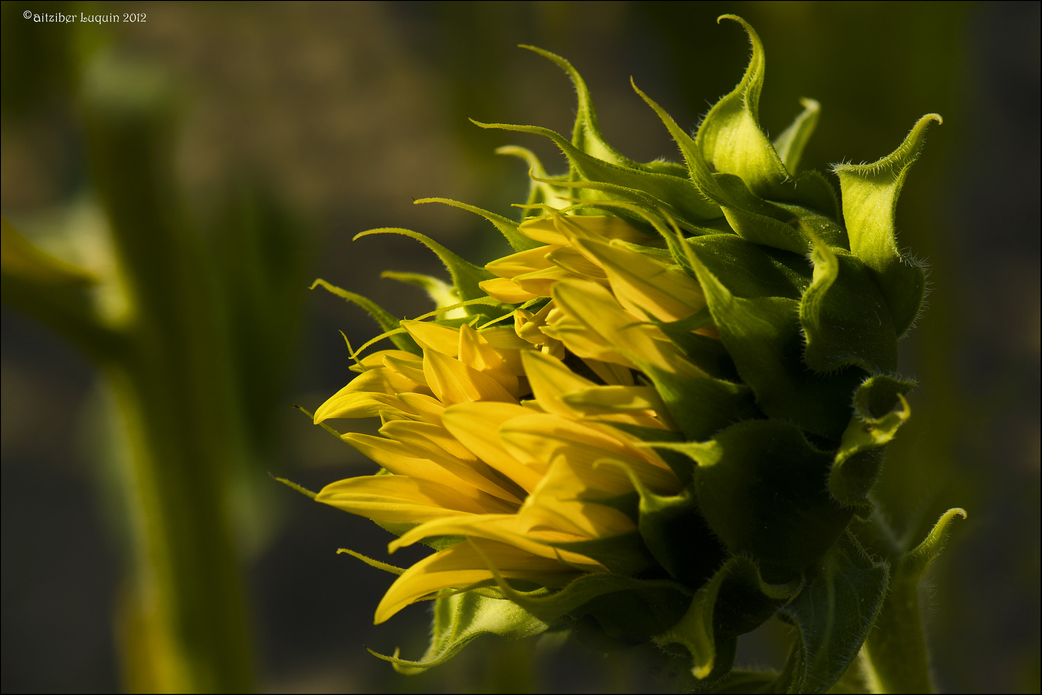 Photograph sunflower 2 by Aitziber Luquin on 500px