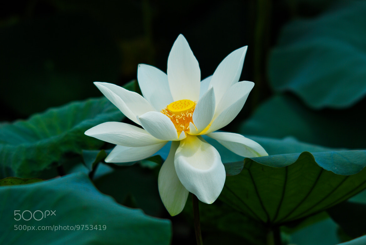 Photograph White Lotus  by Hurkyl  on 500px