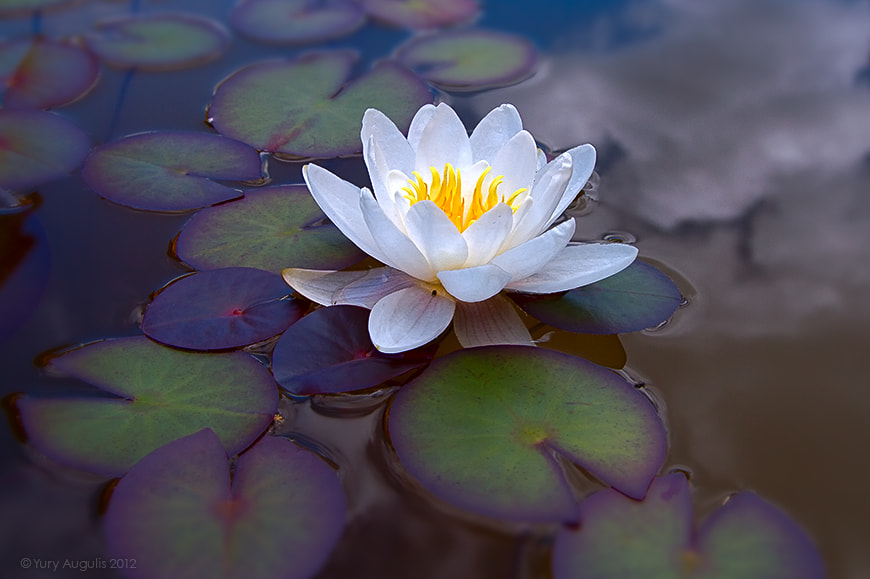 Photograph Water lily by Yury Augulis on 500px