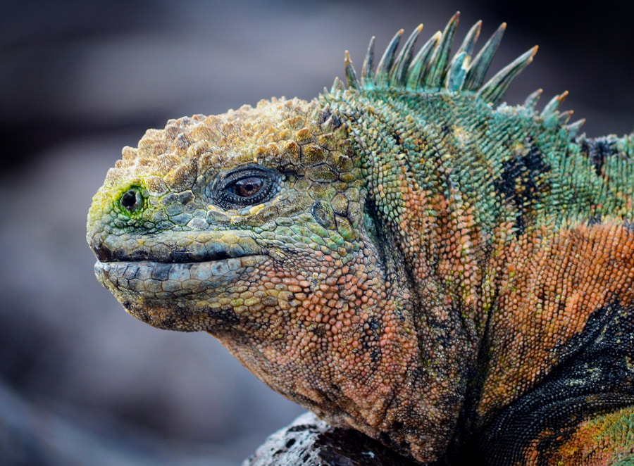 Photograph Iguana, Galapagos, Isabela by Miles Chai on 500px