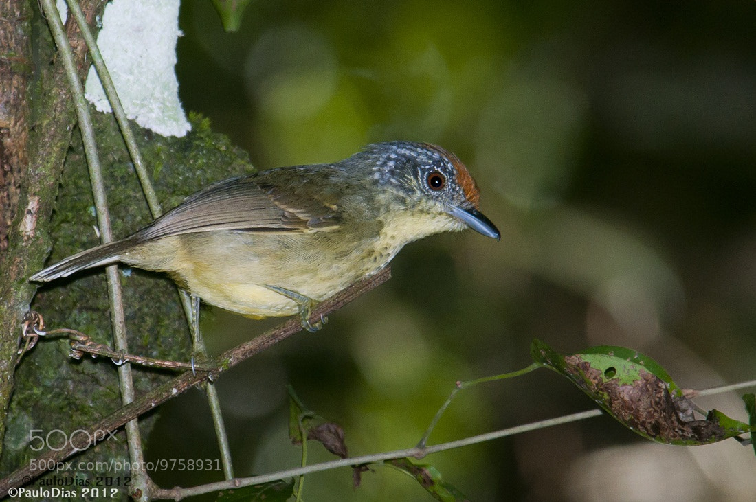Photograph Spot-breasted Antvireo (Dysithamnus stictothorax)  by Paulo Dias on 500px