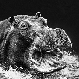 The story of the Hippo by Evin Pesic (evinart)) on 500px.com