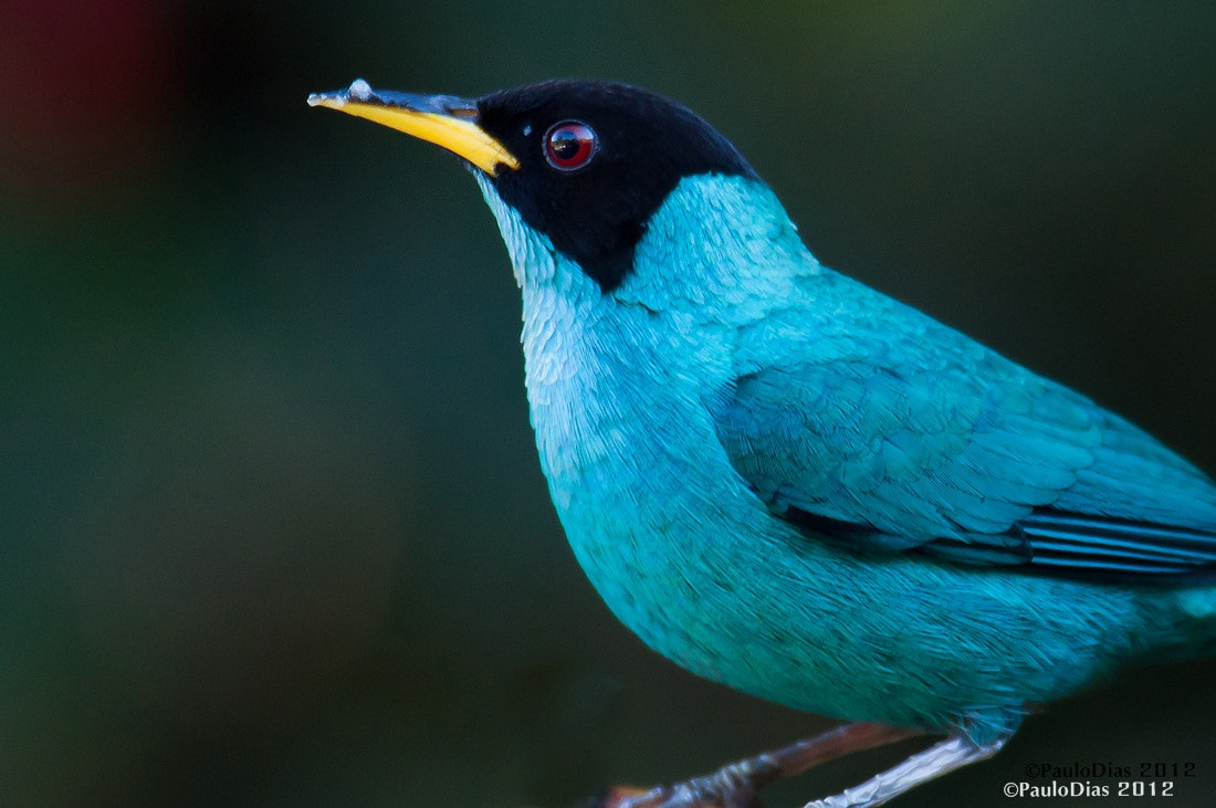 Photograph Green Honeycreeper (Chlorophanes spiza) by Paulo Dias on 500px