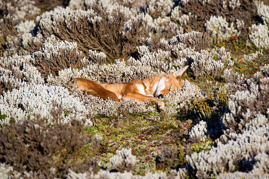 Photograph Ethiopian Wolf Sleeping by Will Burrard-Lucas on 500px