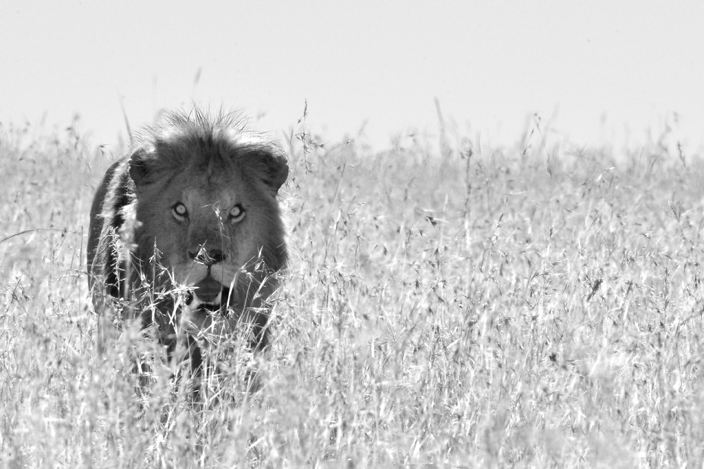 Photograph Male Lion hunting by Andy Rouse on 500px