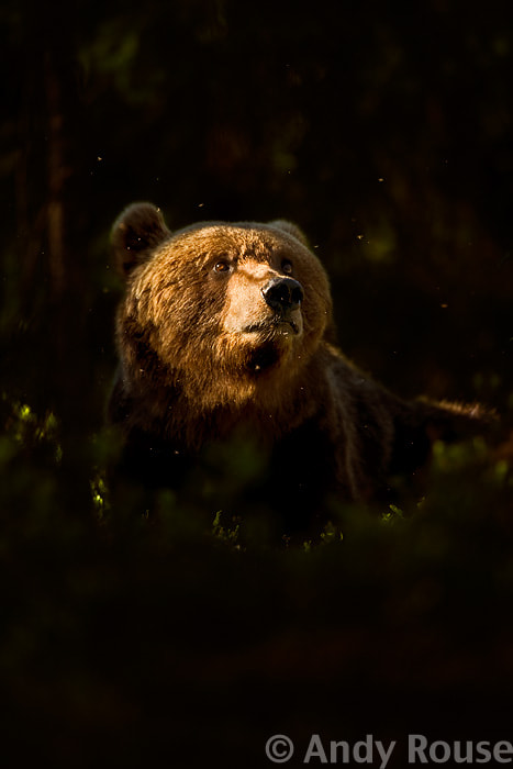 Photograph European Brown Bear in forest by Andy Rouse on 500px