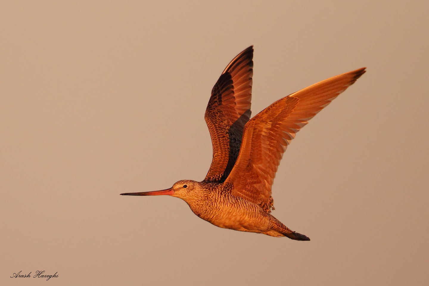 Photograph Marbeled Godwit in last light by Ari Hazeghi on 500px