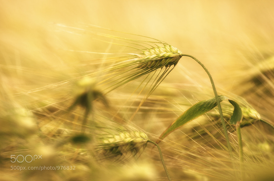 Photograph Barley by Joni Niemelä on 500px