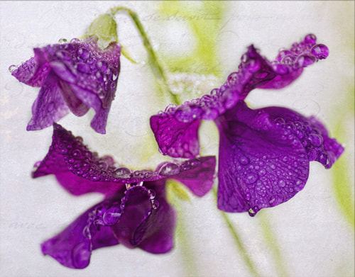 Photograph Sweet Pea Raindrops  by Diane Fifield  on 500px