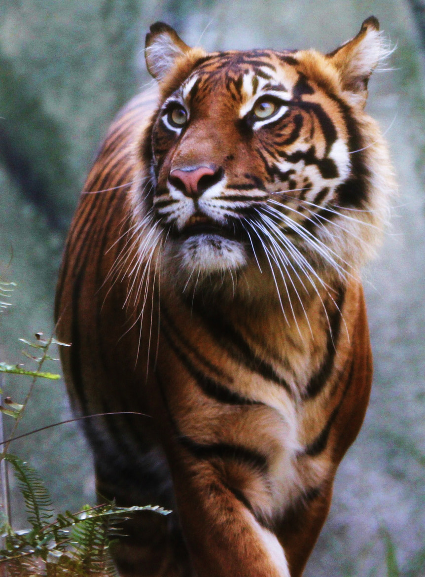Photograph Tiger  by Mark B on 500px