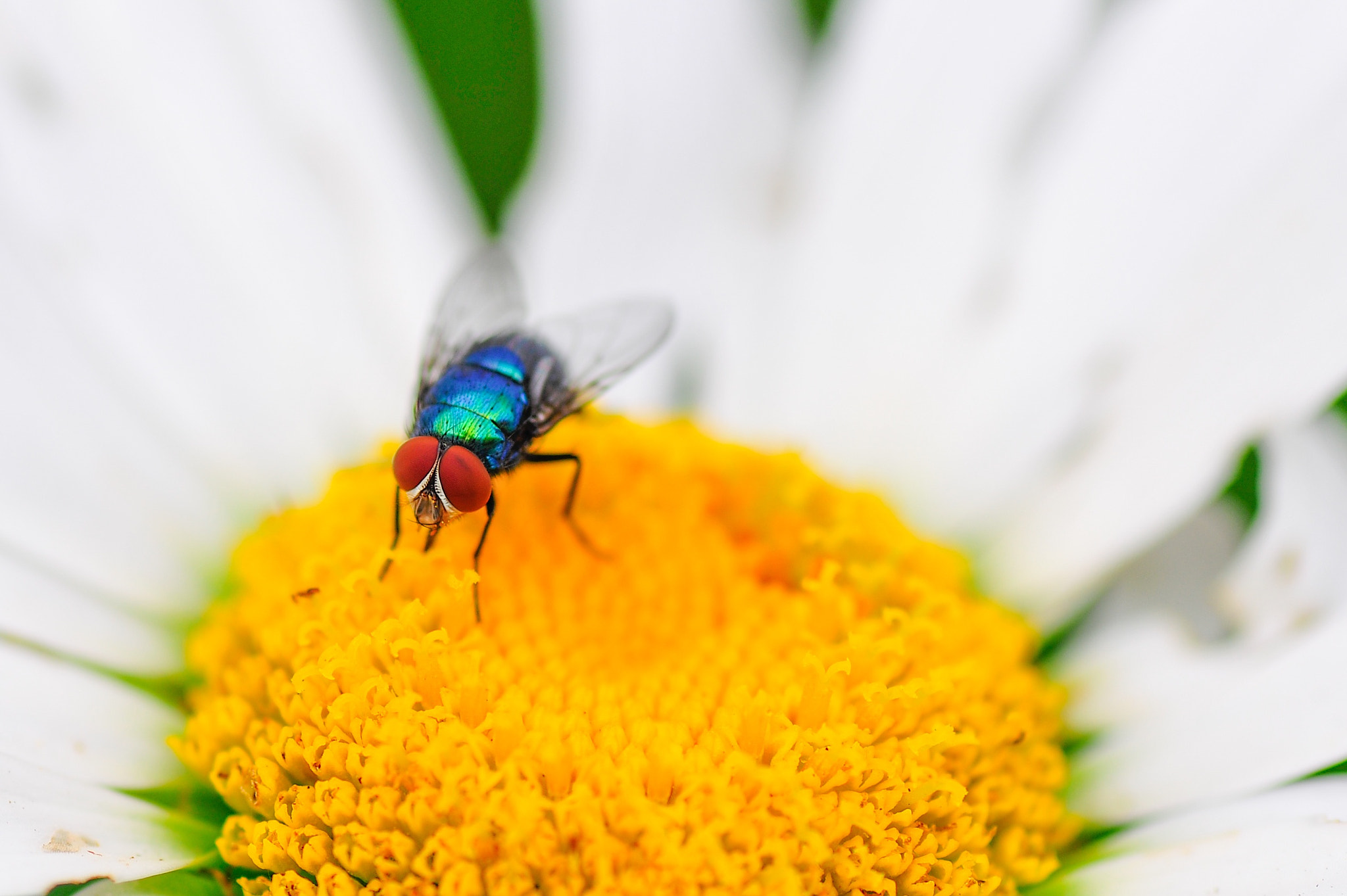 Photograph Daisy & Fly by Sergio Quesada on 500px