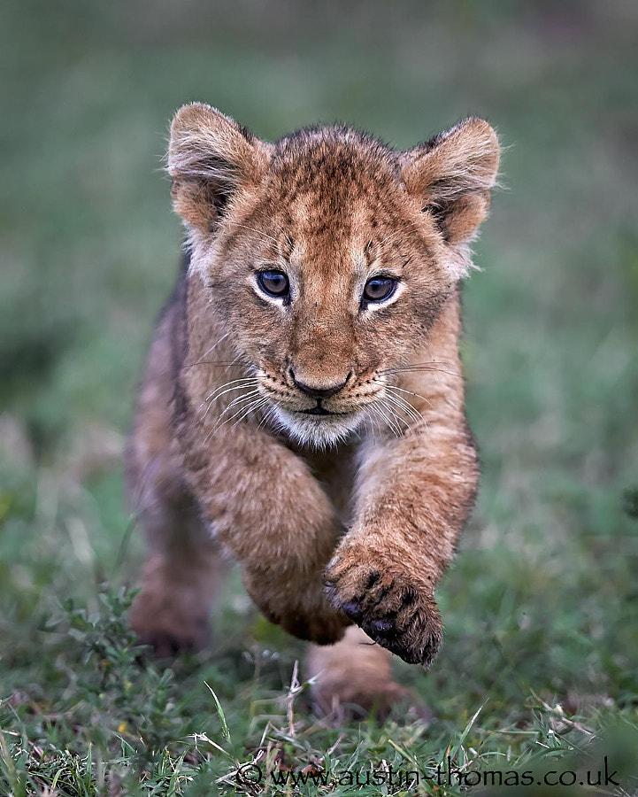 Run lion cub run