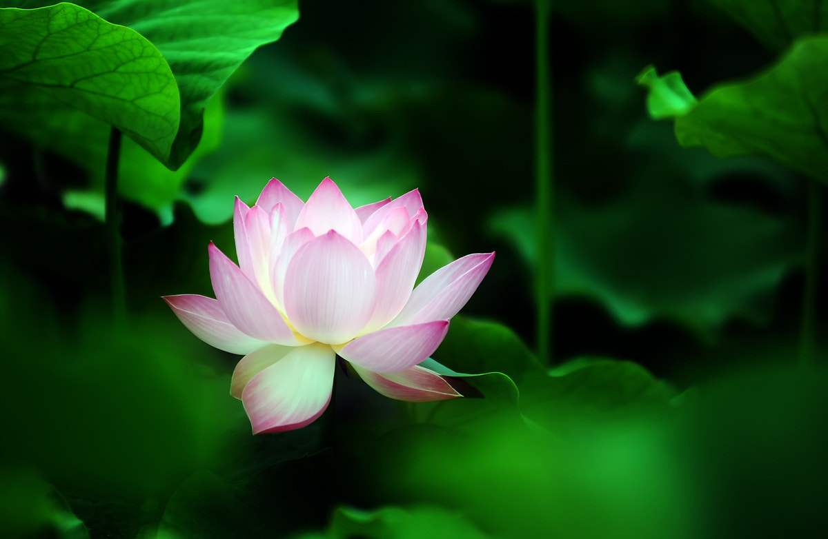 Photograph lotus blossom by k. see on 500px