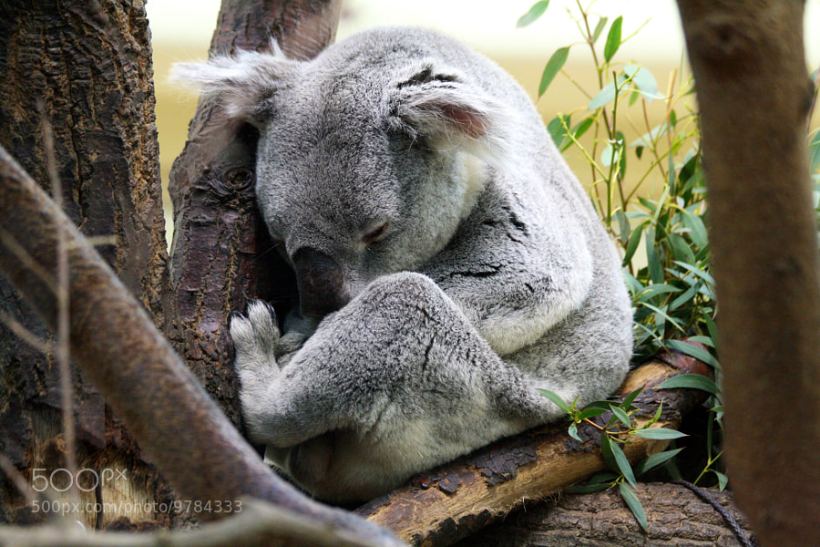 Photograph Lazy Koala by Peter  Ludes on 500px