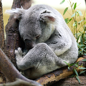 Lazy Koala by Peter  Ludes (pelu2104)) on 500px.com
