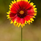 Indian Blanket (Gaillardia aristata), also called Firewheel, or Sundance, is a member of the sunflower family. This wildflower is native to northern and western North America.