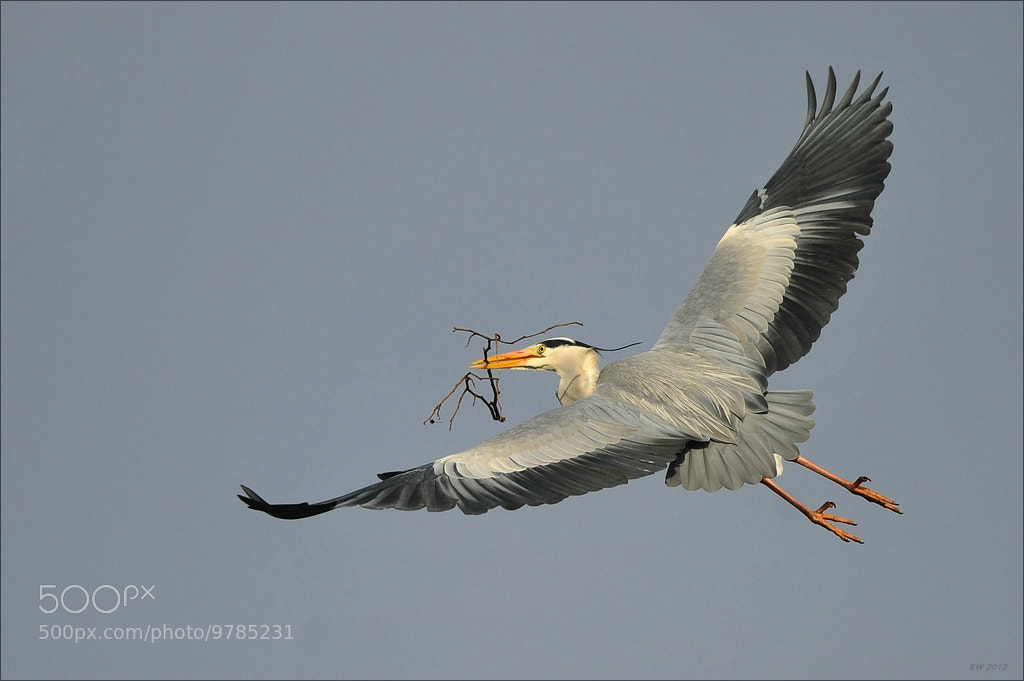 Photograph Grey Heron in flight by Elmar Weiss on 500px