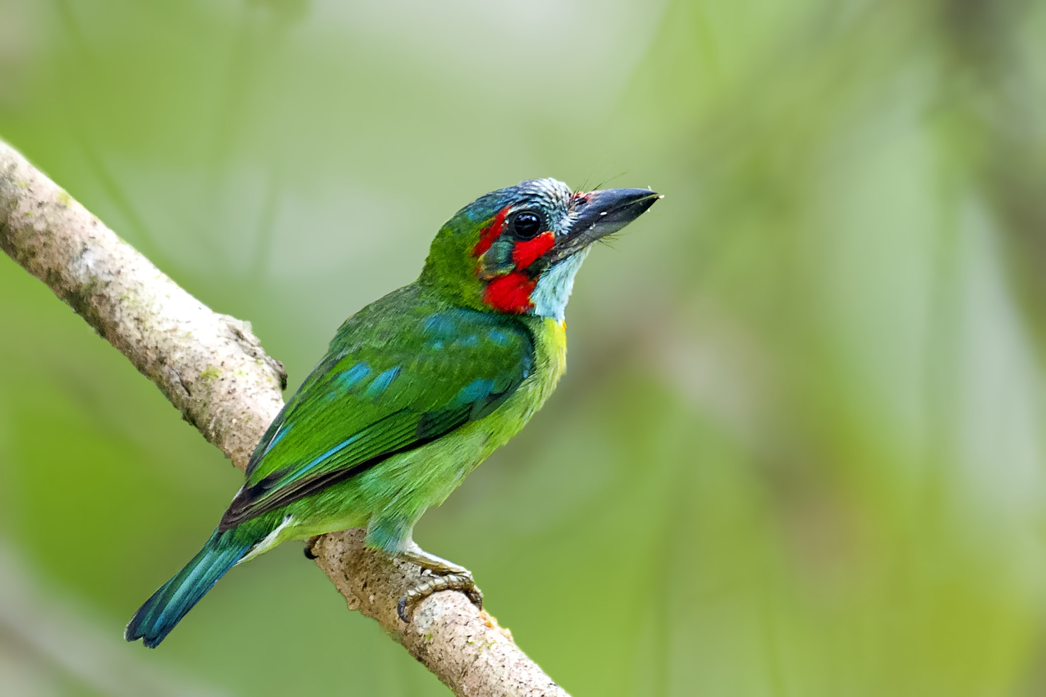 Photograph Blue eared Barbet by Allan Seah on 500px