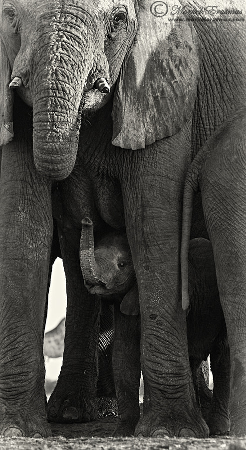 Photograph An Elephantine Moment by Morkel Erasmus on 500px