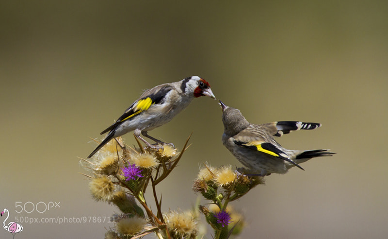 Photograph gold finch by ali azadi on 500px