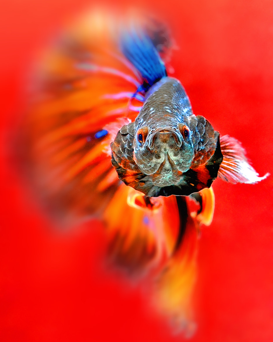 Photograph FIGHT FISH by CK Jack on 500px