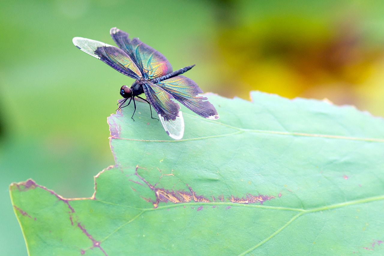 Photograph Dragonfly_03 by James Chow on 500px