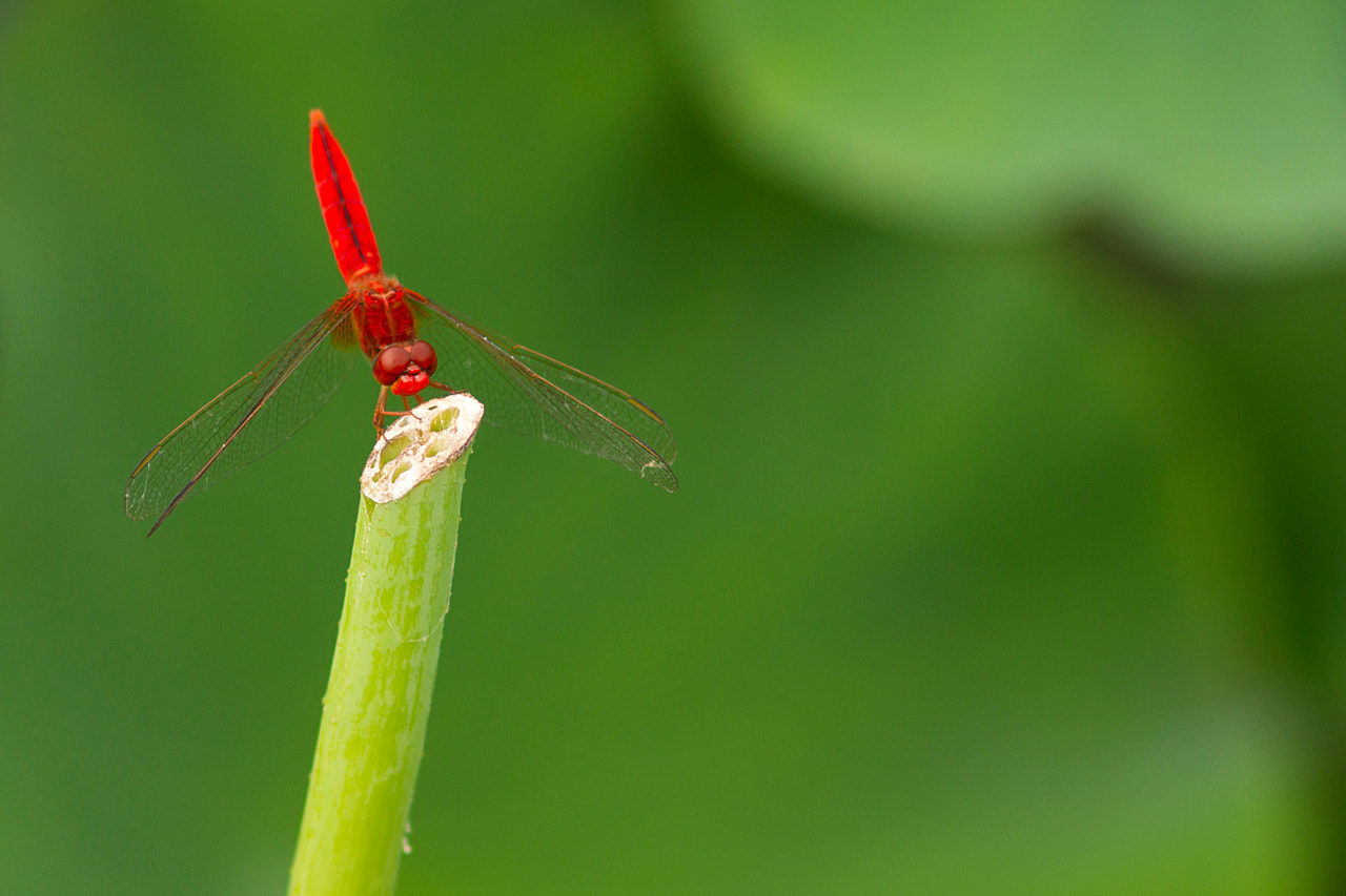 Photograph Dragonfly_02 by James Chow on 500px