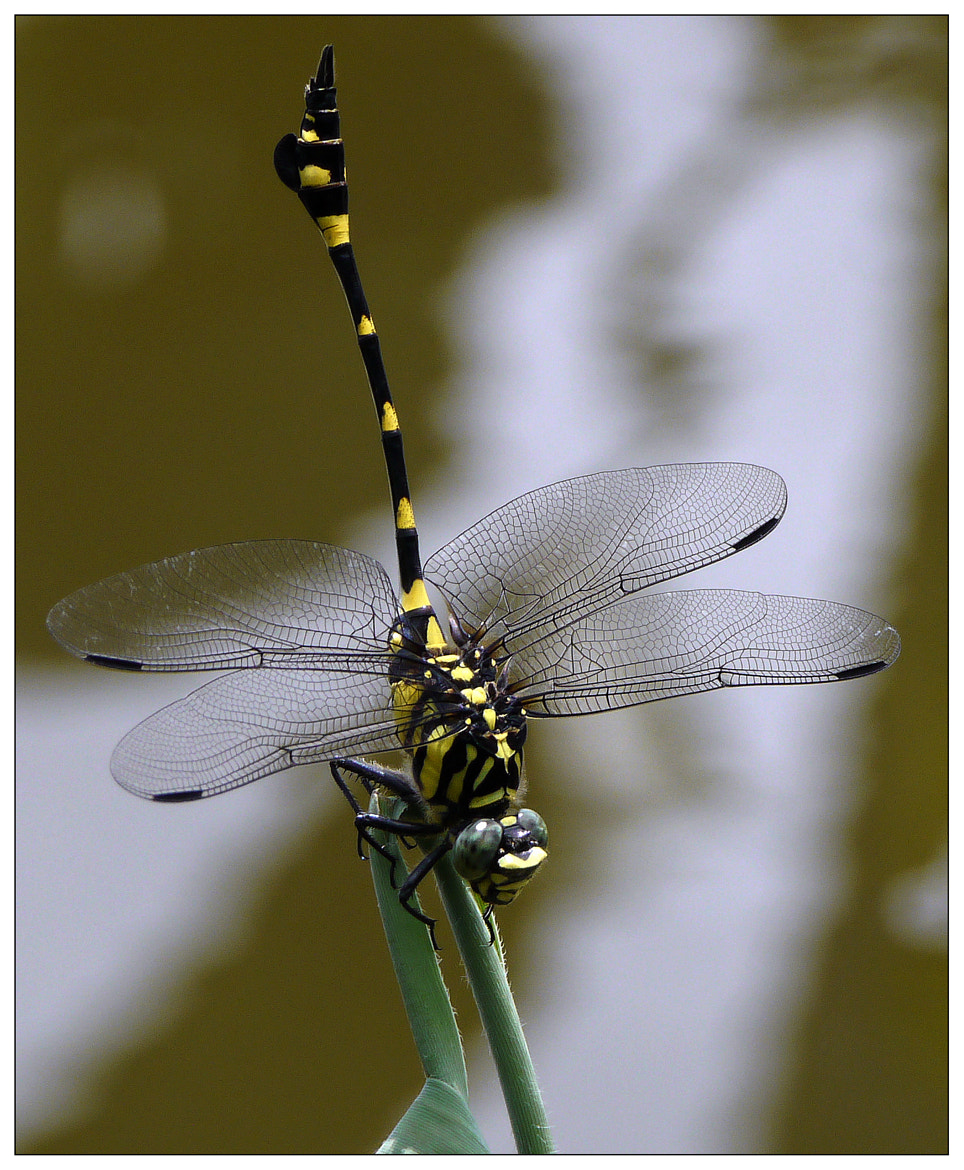 Photograph Black Dragonfly by Sherman C. on 500px
