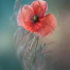 Flower of poppy