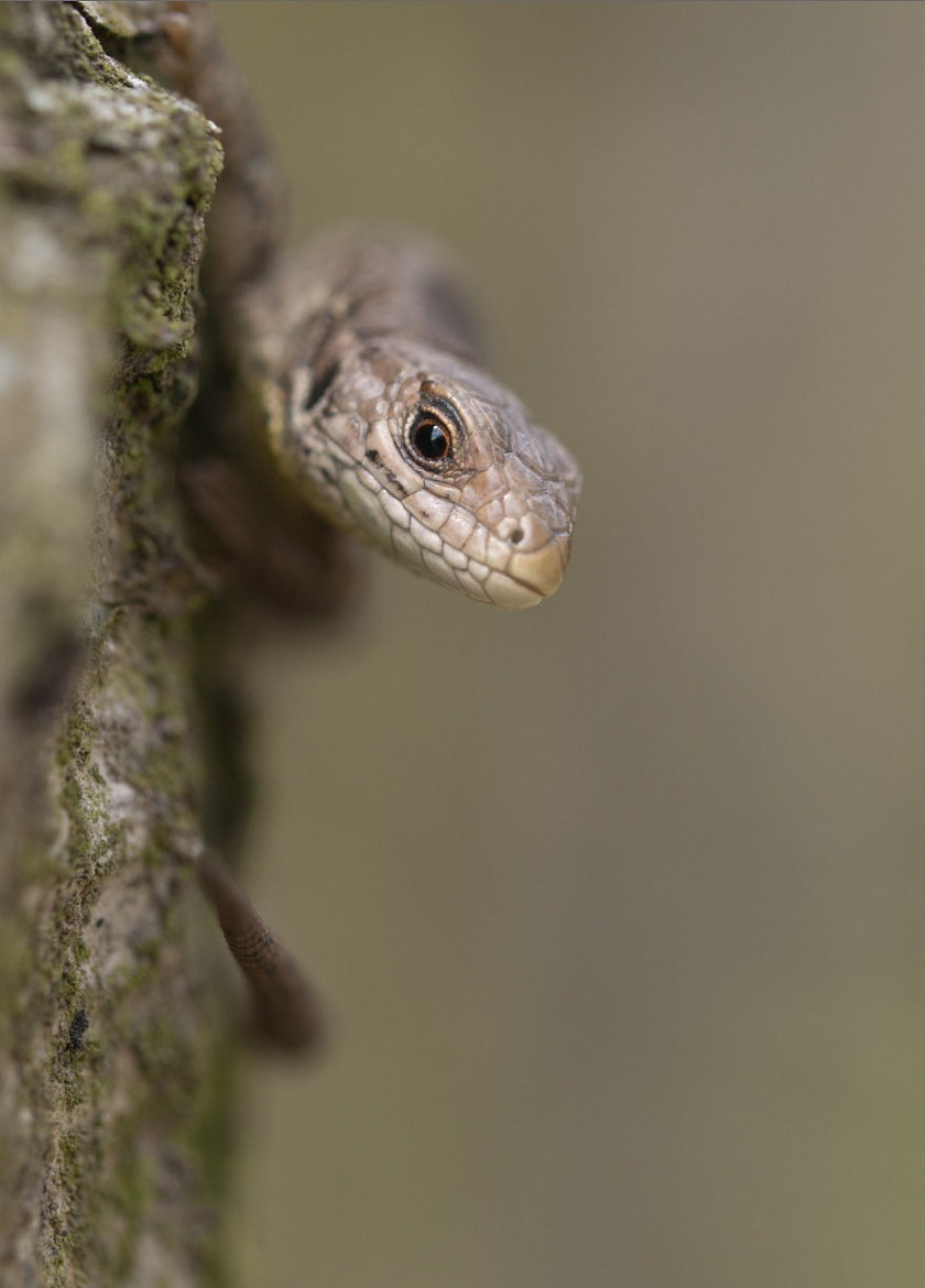 Photograph Sand Lizard by Sabelo Jeebe on 500px