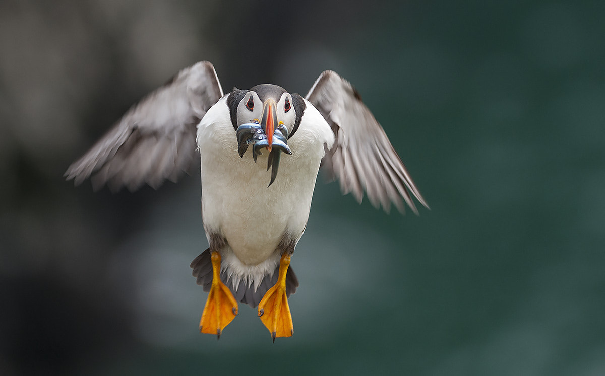 Photograph Puffin with sandeels by Oscar Dewhurst on 500px