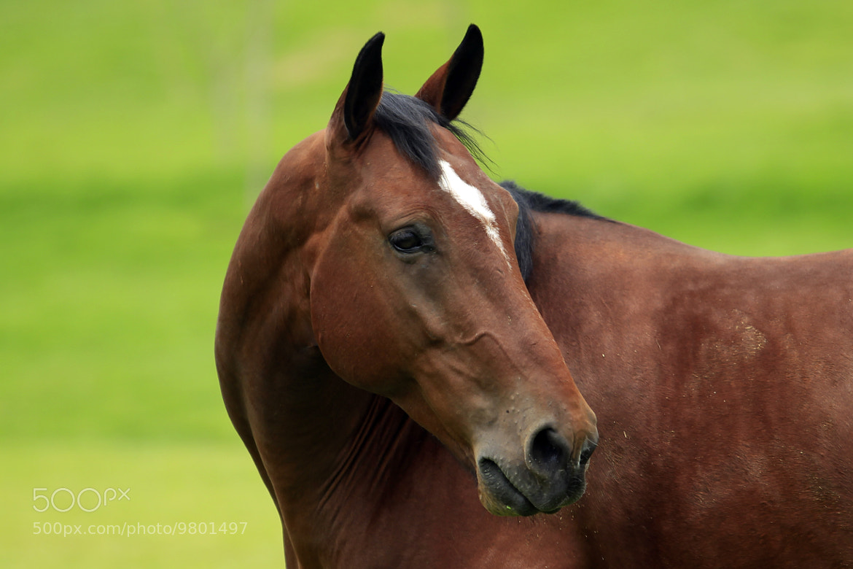 Photograph Horse Head by Cristobal Garciaferro Rubio on 500px