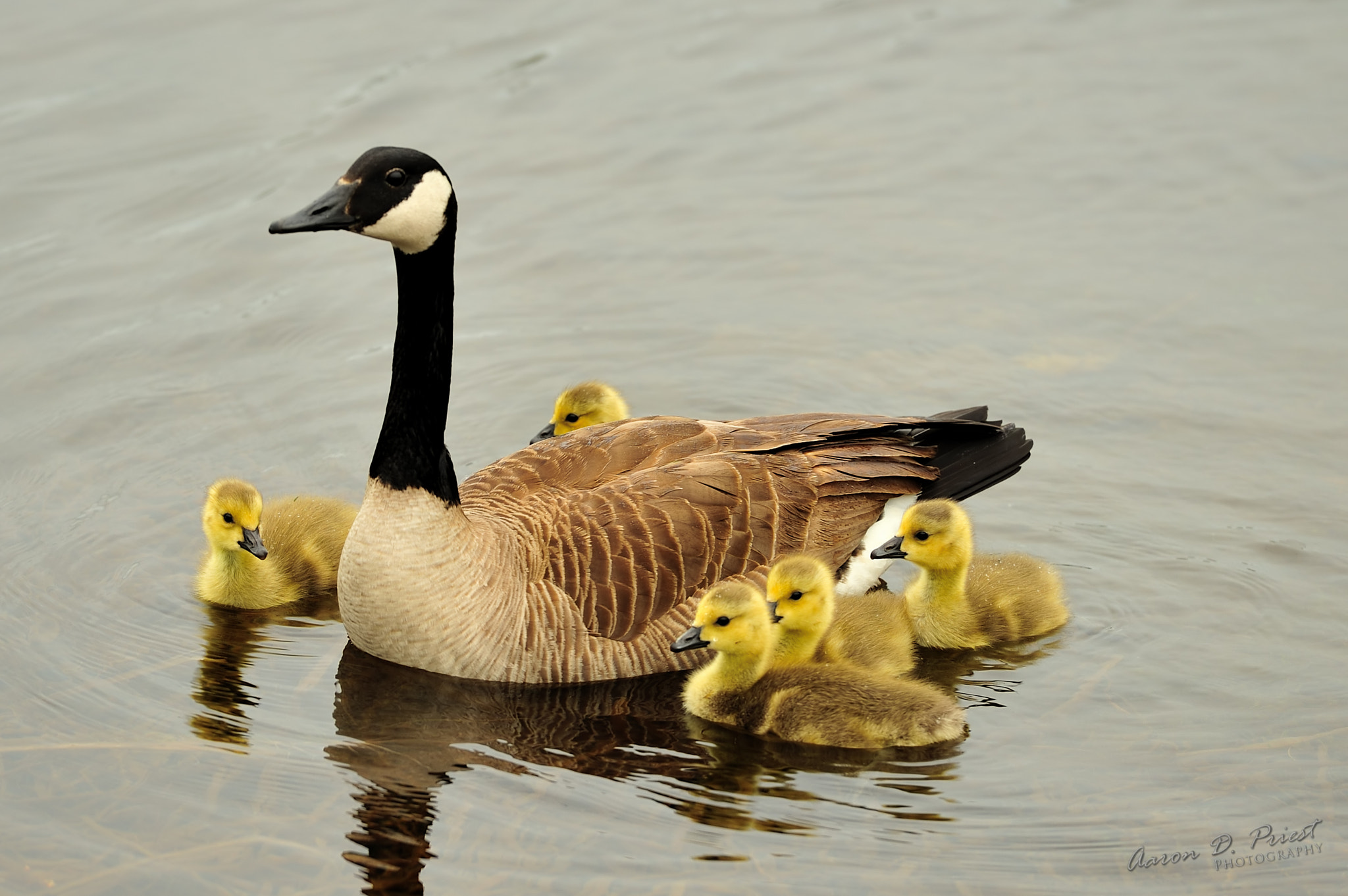 Photograph Canada Goose & Goslings by Aaron Priest on 500px