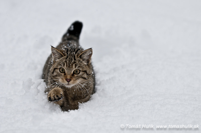 Photograph Wild cat by Tomas Hulik on 500px