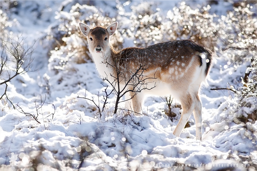 Fallow Deer in Glitter Land by Roeselien Raimond on 500px.com