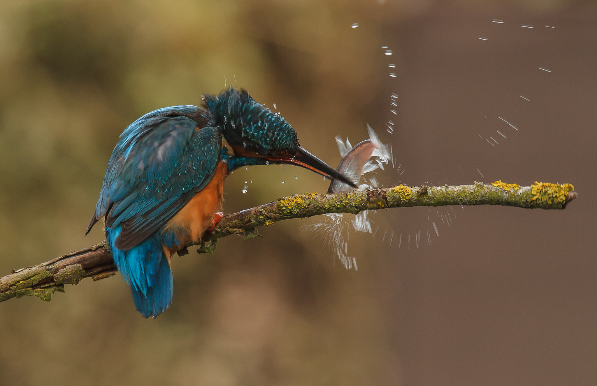 Photograph Stunning the the fish (kingfisher) by John Starkey on 500px