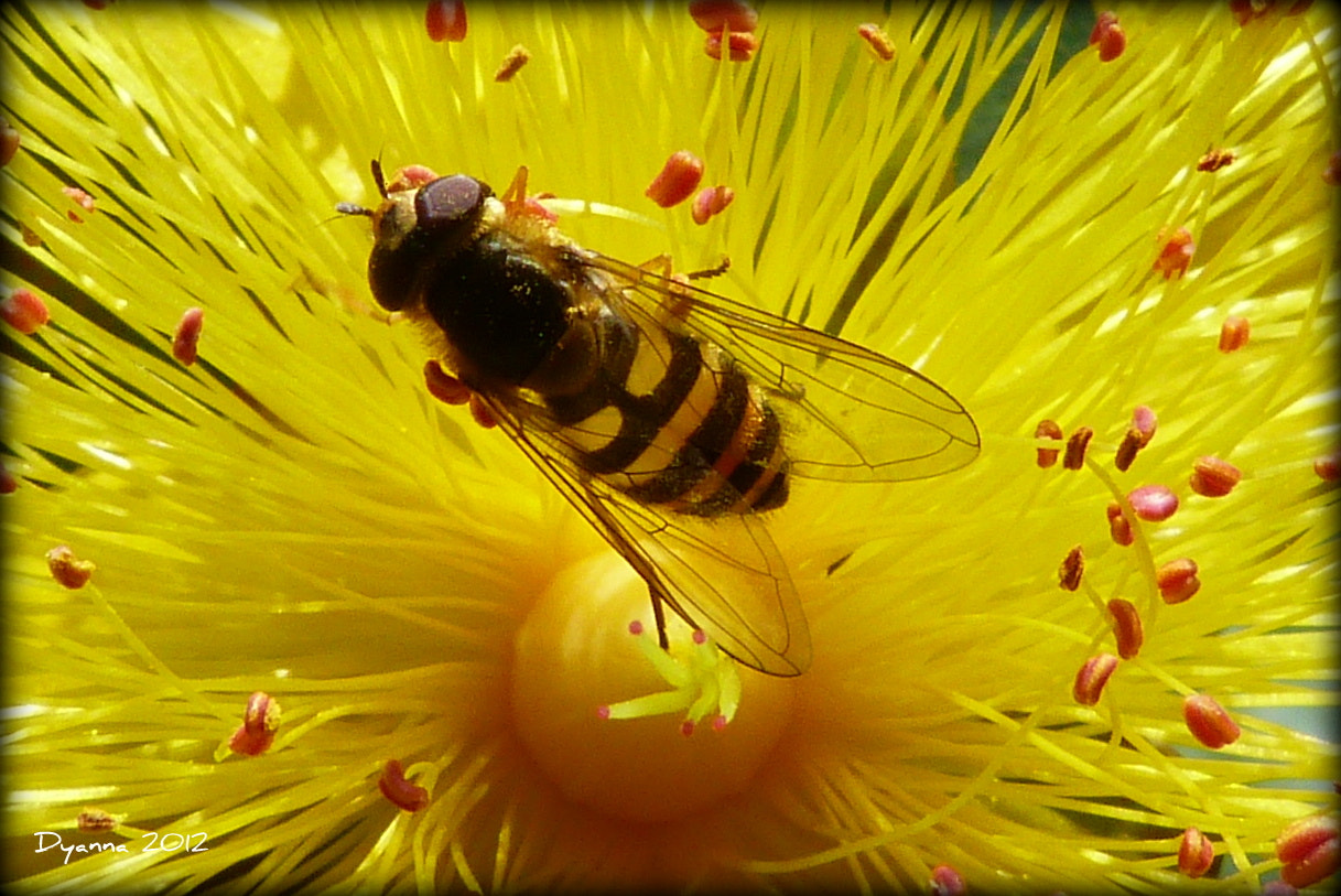 Photograph Hoverfly by Dy Swindlehurst on 500px