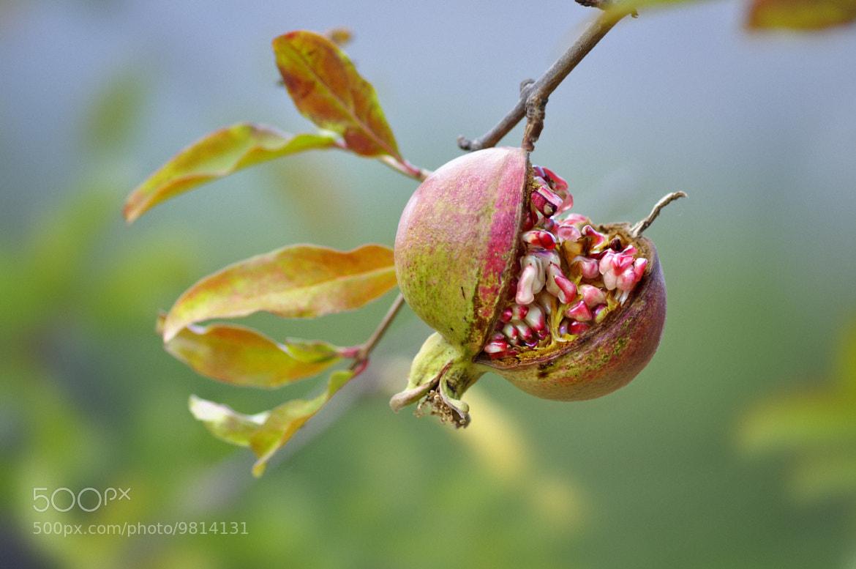 Photograph Pomegranate by Christian Merk on 500px
