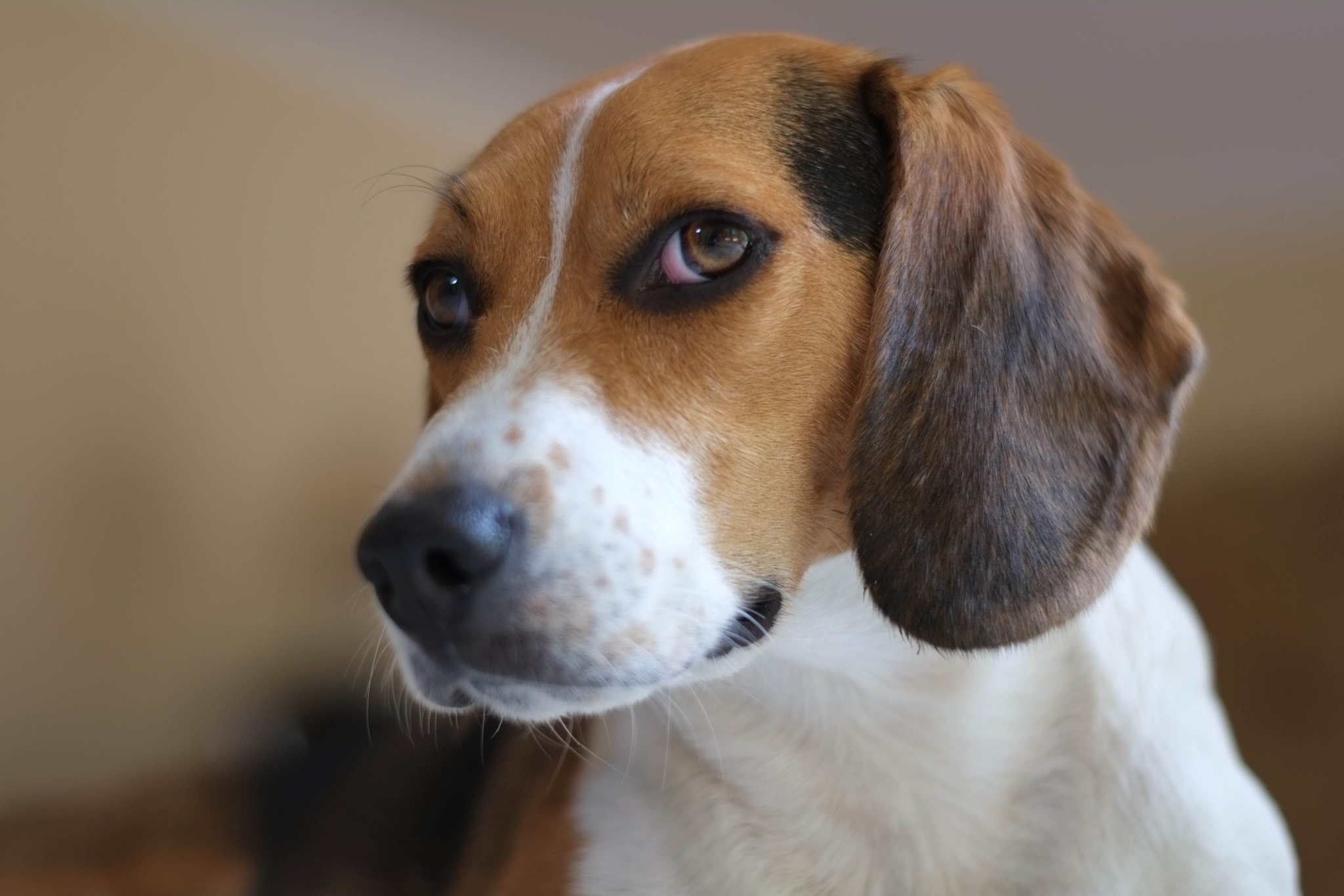 Photograph Biscuit the Beagle by Phillip Jones on 500px