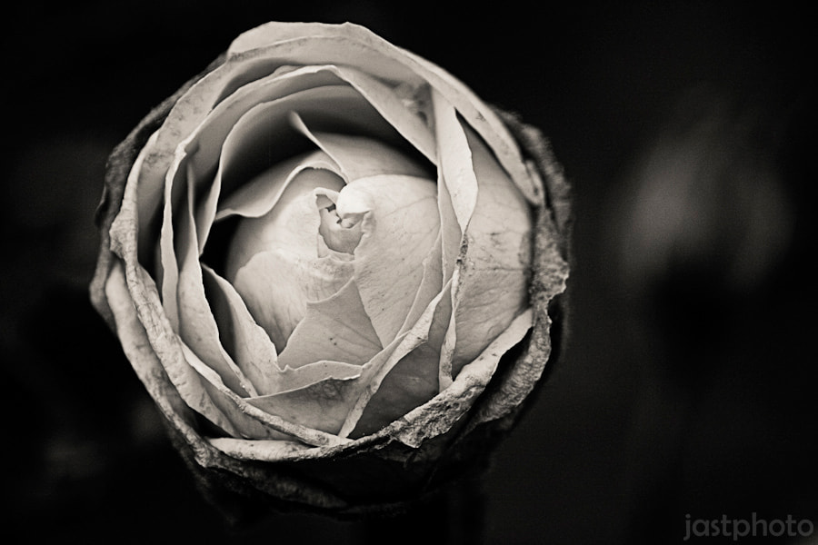 Photograph b/w rose by Jan Strohdiek on 500px