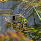 A female Blue Emperor (Anax imperator) laying her eggs in a pond.