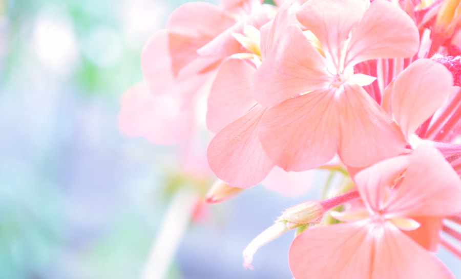 Photograph Soft Pink Zonal Pelargonium by Papanikolaou Joanna on 500px