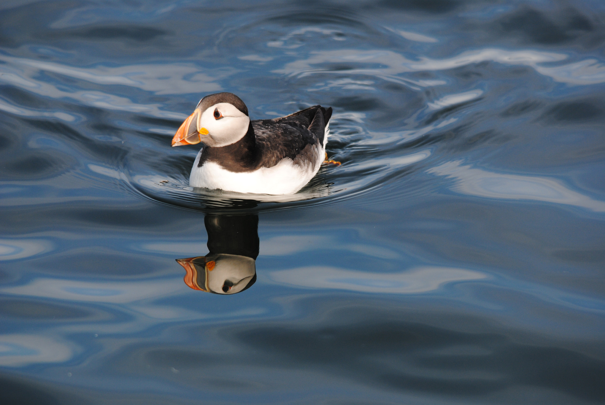 Photograph Puffin by Andrew Douglas on 500px