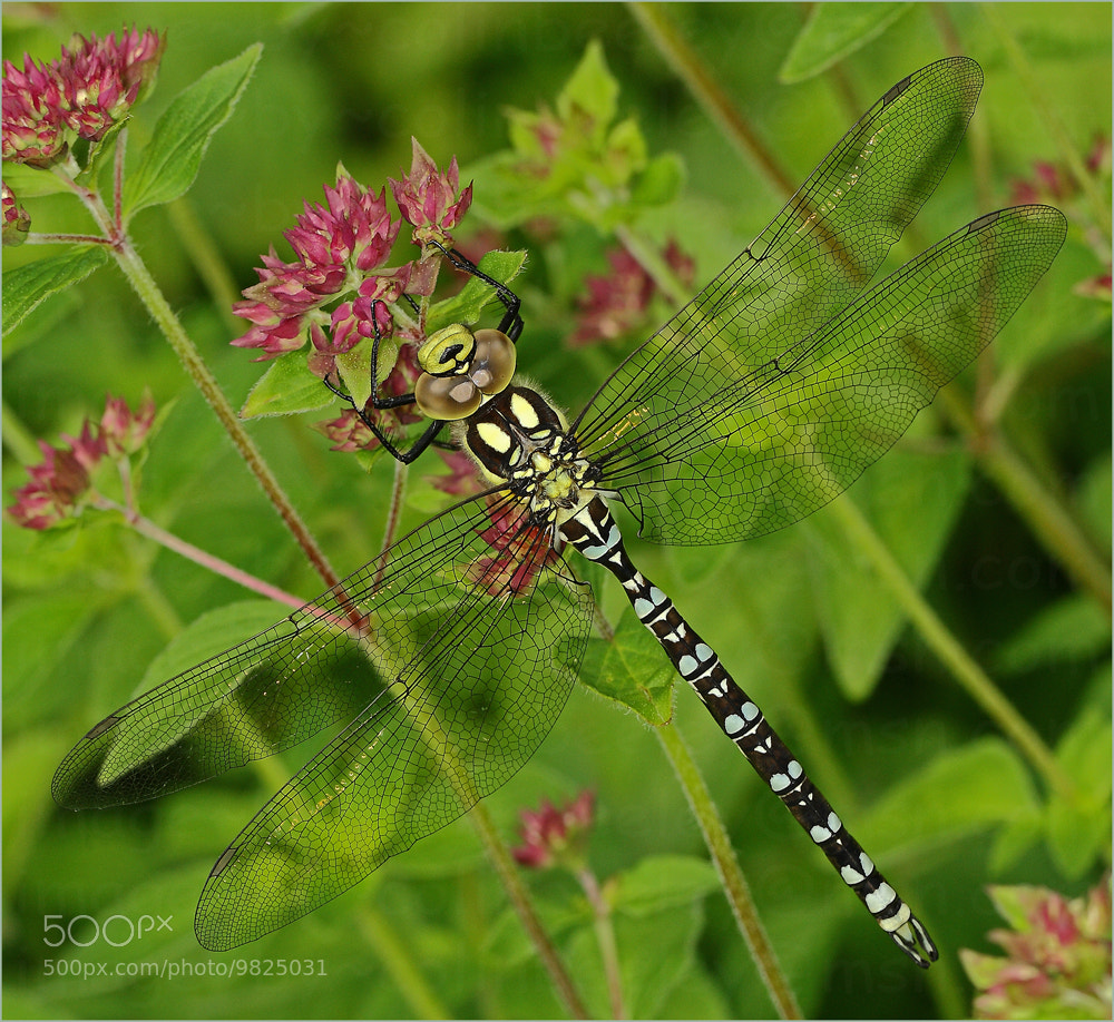 Photograph dragonfly by colin beeley on 500px