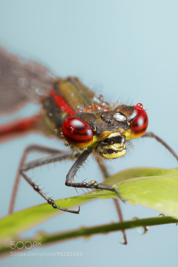Large-red Damselfly