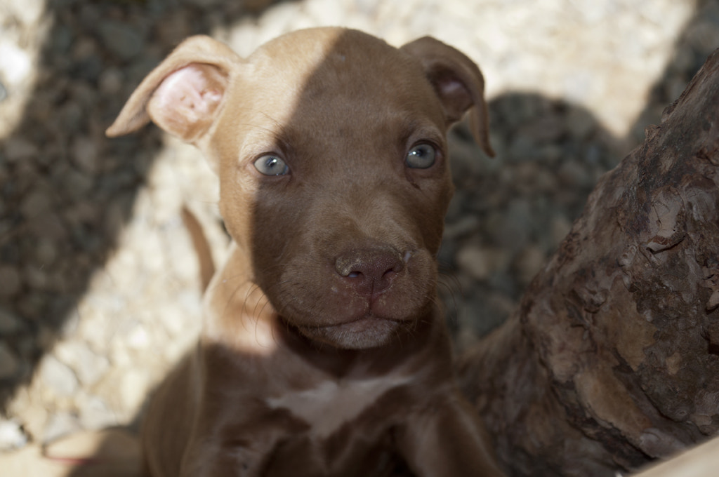 Photograph pitbull by Ivan... Olivo... on 500px