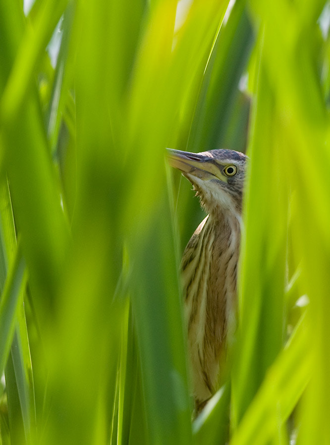 Photograph Little Bittern by Mark Medcalf on 500px