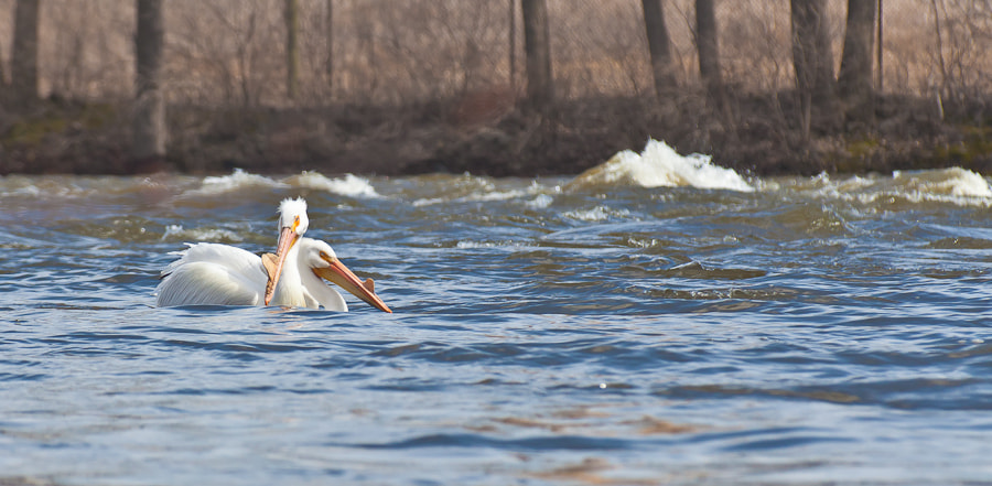Photograph Pelicans on the Fox River by rachel crowl on 500px